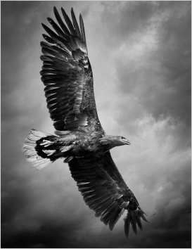 White-Tailed Fish Eagle by Jim Berkshire