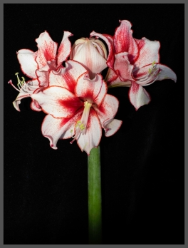Amaryllis in Bloom by Gill Hitchcock