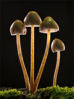 Bonnet Fungi by Robert Williams