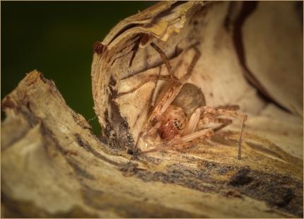 Camouflaged Spider by Jim Berkshire